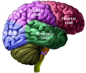 the parietal lobe is responsible for