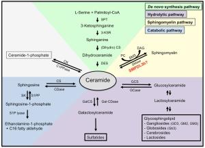 Anatomy of a sphingolipid