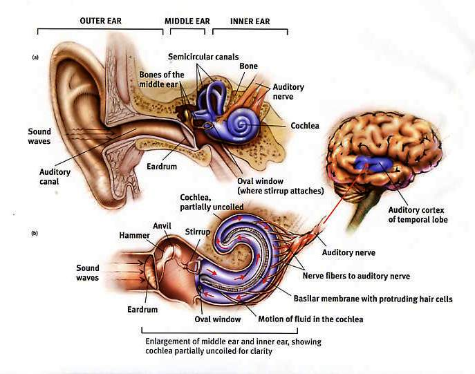 Auditory cortex going gentle into that good night hearing is a neurological process that when impaired can lead to brain atrophy cognitive impairment ccuart Image collections